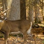 How To See More Deer While Hunting?